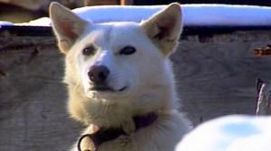 sled dog blonde cu