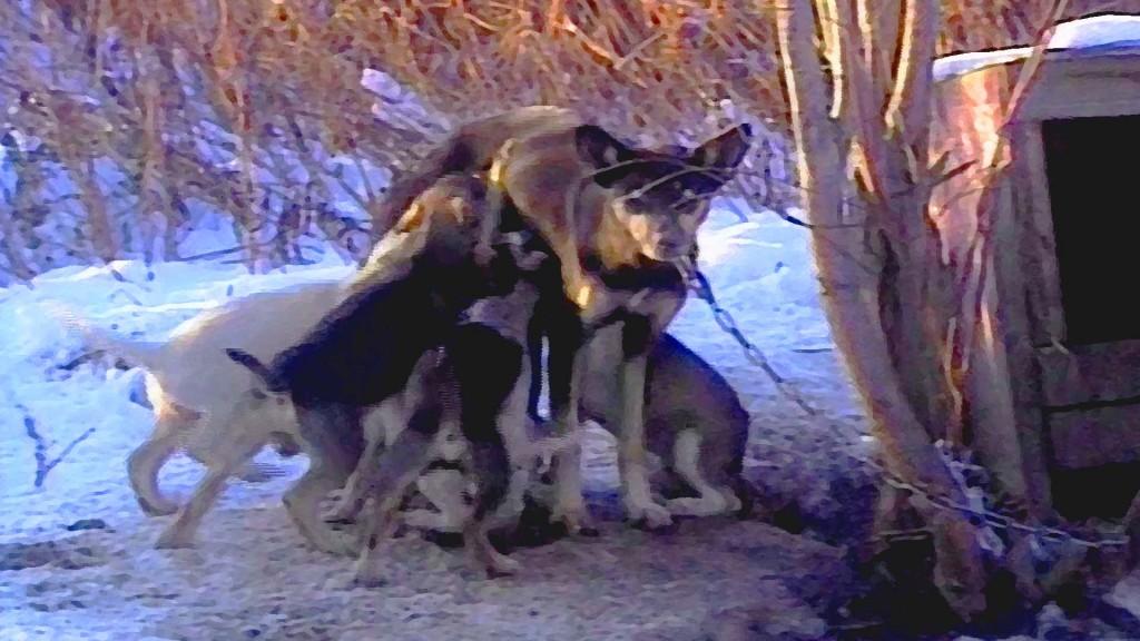 sled dog mother